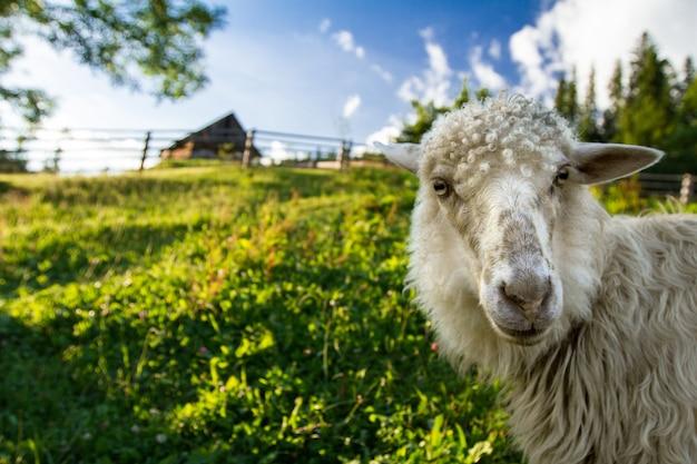 Ovejas pastando en el prado. montañas de los cárpatos. Foto gratis