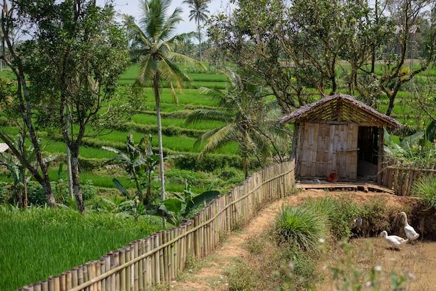 Paisaje de campos de arroz verde con casa y patos Foto Premium