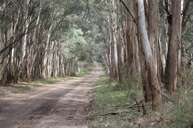 Resultado de imagen para eucaliptos