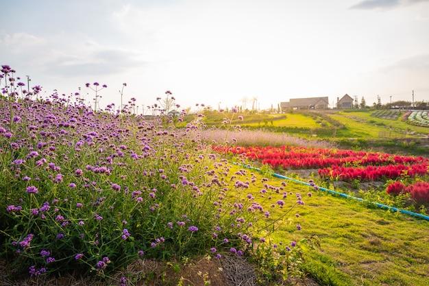 Paisaje de la lavanda floreciente y del campo de flor rojo rosado con la casa hermosa en la montaña bajo los colores rojos de la puesta del sol del verano. Foto Premium