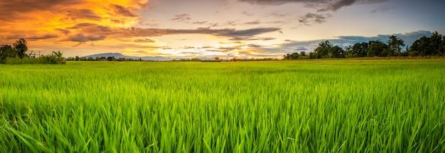 Paisaje panorámico del joven campo de arroz verde Foto Premium