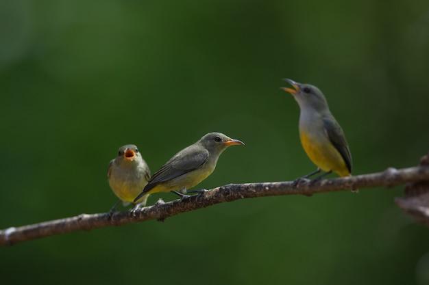 Pájaro colorido flowerpecker de vientre anaranjado Foto Premium