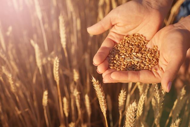 Las palmas de las mujeres sostienen las semillas de trigo contra el fondo de espigas amarillas Foto Premium