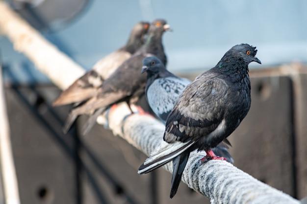 Las palomas sentado en barco guindaleza. Foto Premium