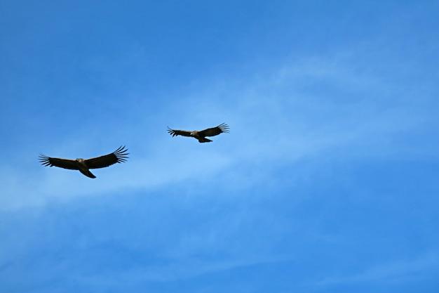 Pareja de cóndores andinos volando en el azul sobre el cañón del colca en la región de arequipa, perú, sudamérica Foto Premium