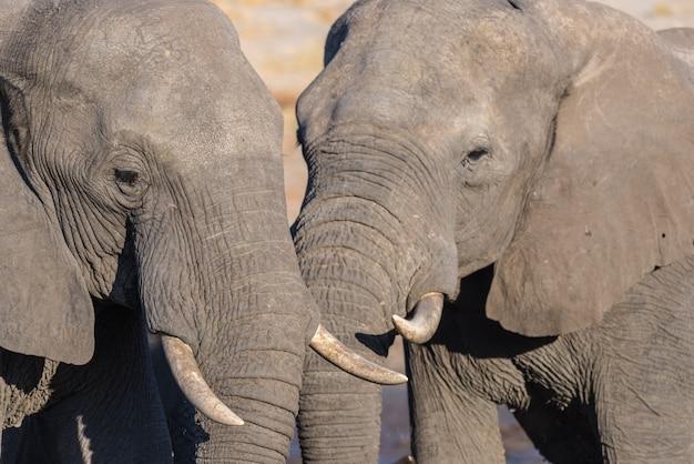 Pareja de elefante africano, jóvenes y adultos, en el abrevadero. wildlife safari en el parque nacional de chobe, destino de viaje en botswana. Foto Premium