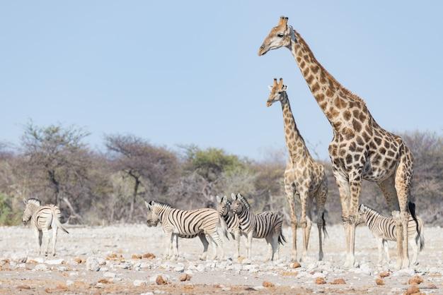 Pares de la jirafa que caminan en el arbusto en la cacerola del desierto, luz del día. wildlife safari en el parque nacional de etosha, el principal destino turístico en namibia, áfrica. Foto Premium