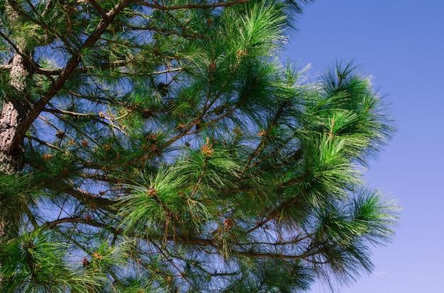 Parte de pino con cielo azul. Foto Premium