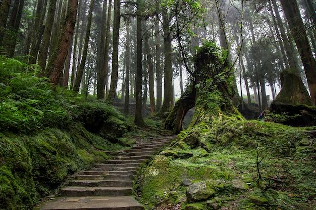 La pasarela en el bosque tiene un bello entorno en taiwán. Foto Premium