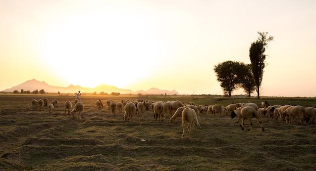Pastoreo rural Foto Premium