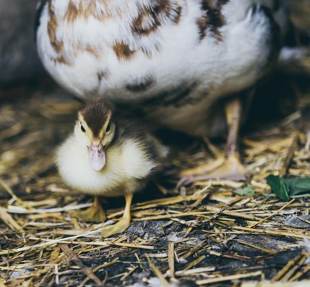 Pato y una bandada de patos sentados en el heno en el establo. Foto Premium