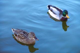 Patos nadando estanque descargar fotos gratis for Imagenes de estanques para patos