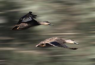 patos volando acción Foto Gratis