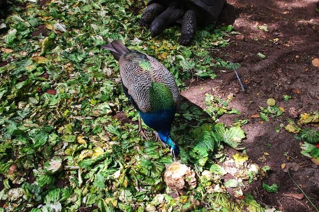 Pavo real en la isla prisión de zanzíbar, tanzania Foto Premium