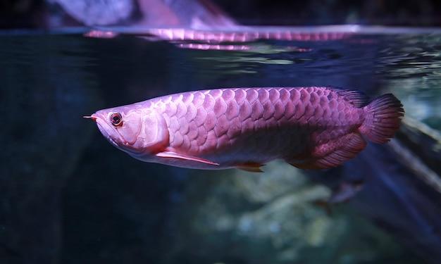 Peces arowana nadando en el agua en el acuario. Foto Premium