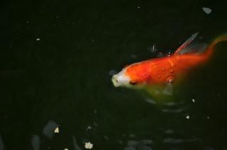 Peces de colores en un estanque descargar fotos gratis for Estanque koi pequeno