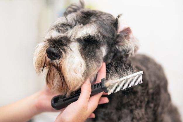 Peluquero profesional que peina el pelo del perro schnauzer con un peine. Foto Premium