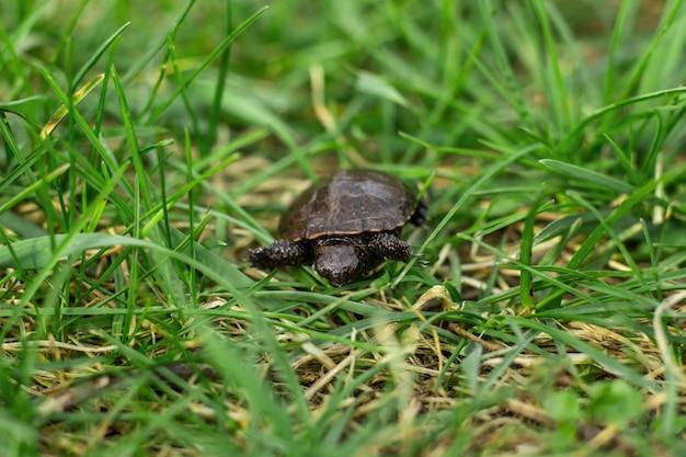 Una pequeña tortuga recién nacida arrastrándose sobre la fresca hierba verde de primavera Foto Premium