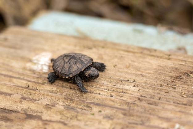 Una pequeña tortuga recién nacida arrastrándose sobre una tabla de madera Foto Premium