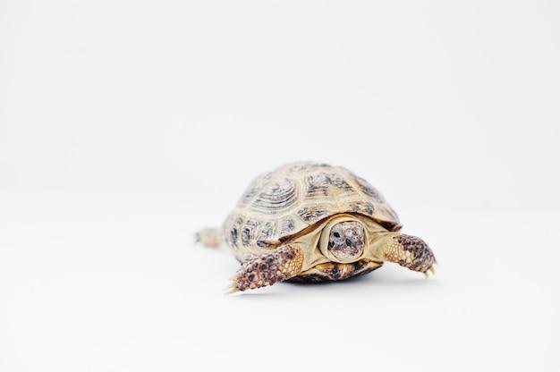 Pequeña tortuga terrestre asiática aislada en blanco. Foto Premium