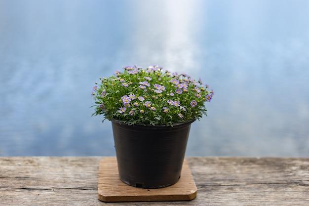 Pequeas flores prpuras estn en macetas negras Descargar Fotos