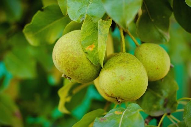 Pequeñas peras frescas y de jugo en las ramas verdes en una cosecha de jardín de verano. fruta . Foto Premium