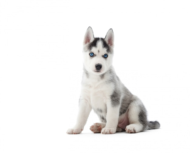 Pequeño cachorro de husky siberiano lindo sentado aislado en blanco Foto gratis