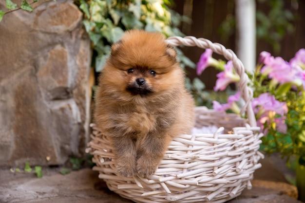 Pequeño cachorro de pomerania. lindo cachorro esponjoso Foto Premium