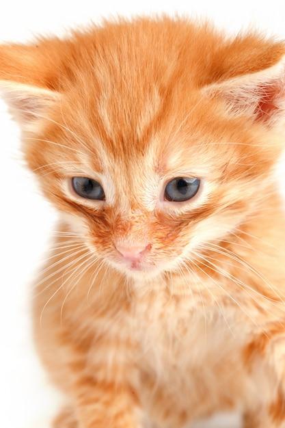 Pequeño gatito rojo lindo con ojos azules Foto Premium