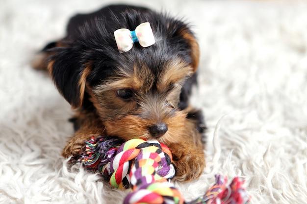 Pequeño perrito lindo en casa Foto gratis