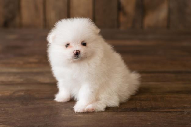 Pequeño perrito del perro de pomerania de pomerania. se puede utilizar como fondo. Foto Premium