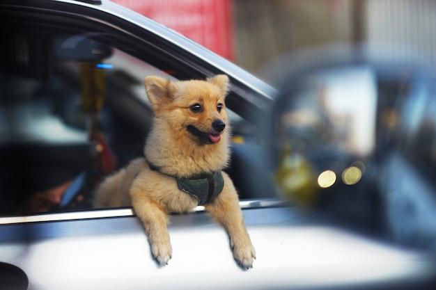 Pequeño perro mira por la ventana del coche en street view Foto Premium