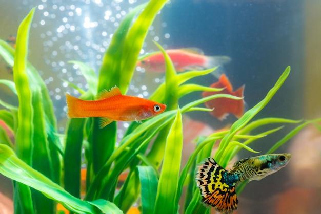 Pequeño pez en pecera o acuario, guppy Foto Premium