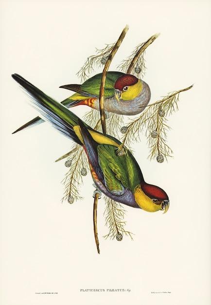 Periquito de cabeza roja (platycercus pileatus) ilustrado por elizabeth gould Foto gratis