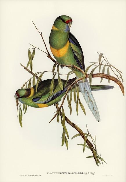 Periquito (platycercus barnardii) ilustrado por elizabeth gould Foto gratis