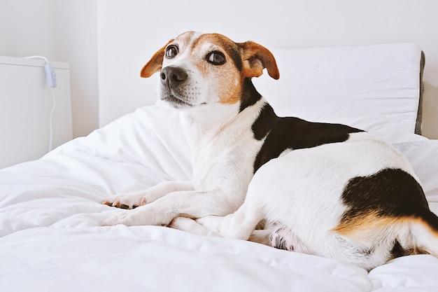 Perrito acostado en la cama blanca en el dormitorio brillante mirando a la cámara Foto Premium