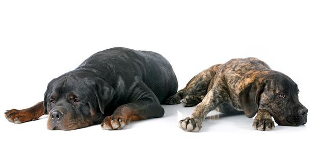 Perrito cane corso y rottweiler Foto Premium