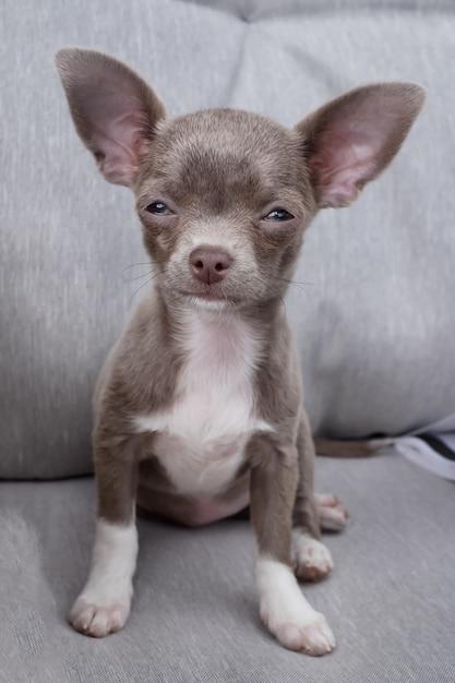 El perrito chihuahua quiere dormir. el color de chocolate caliente se sienta en el sofá. Foto Premium