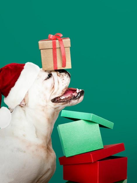Perrito lindo del dogo que lleva un sombrero de papá noel mientras que sostiene una caja de regalo Foto gratis