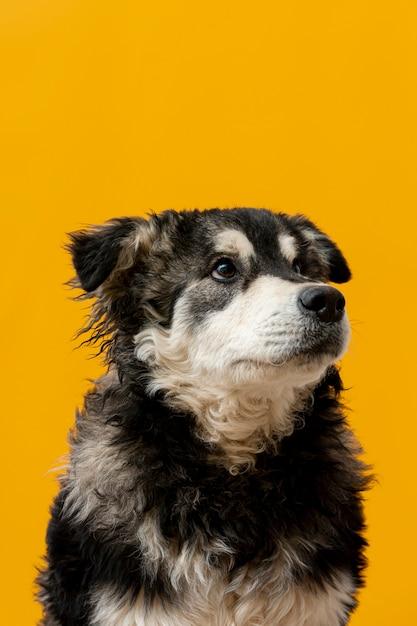 Perro de alto ángulo mirando hacia arriba sobre fondo amarillo Foto gratis
