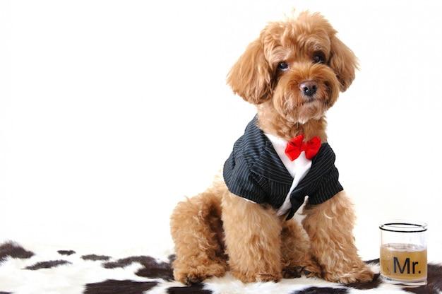 Un perro caniche marrón vestido con esmoquin con una palabra de vidrio