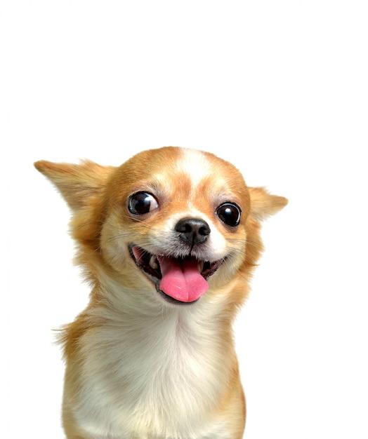 Perro chihuahua, un macho marrón Foto Premium
