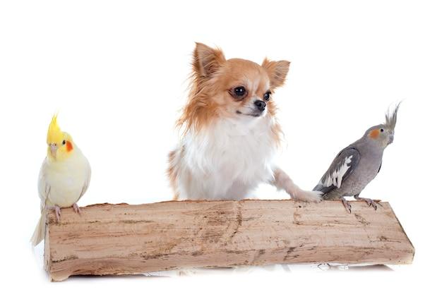 Perro cockatiel de aves y chihuahua. Foto Premium