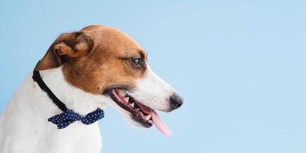 Perro de compañía con arco y lengua afuera Foto gratis