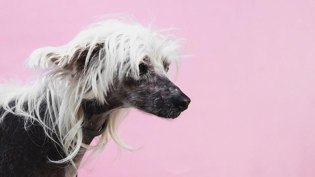 Perro con corte de pelo impresionante y copia espacio de fondo Foto gratis