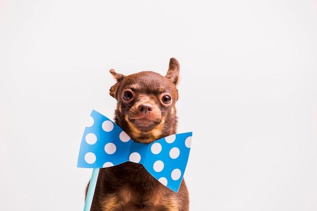 Perro de juguete ruso con punto de corbata de lunares cerca del ...