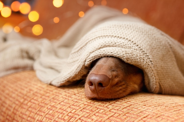 Perro duerme debajo de la manta cerca de la luz de navidad. de cerca. concepto de invierno Foto Premium
