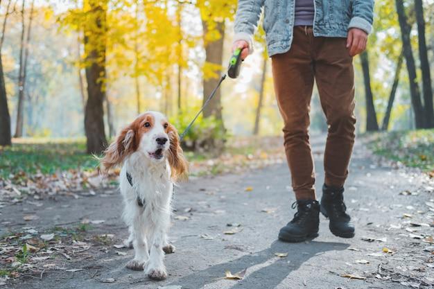 Perro familiar bien portado en un paseo por el parque. el hombre camina su spaniel con la correa al aire libre Foto Premium