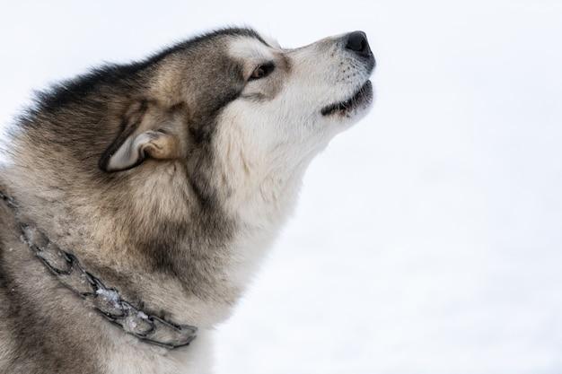 Perro husky aúlla y ladra, mascota divertida. divertida mascota caminando antes del entrenamiento del perro de trineo. Foto Premium