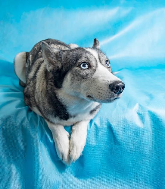 Perro husky gris y blanco con ojos azules Foto gratis